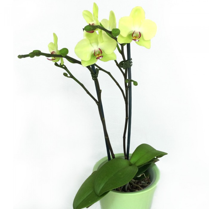 pale green orchid
